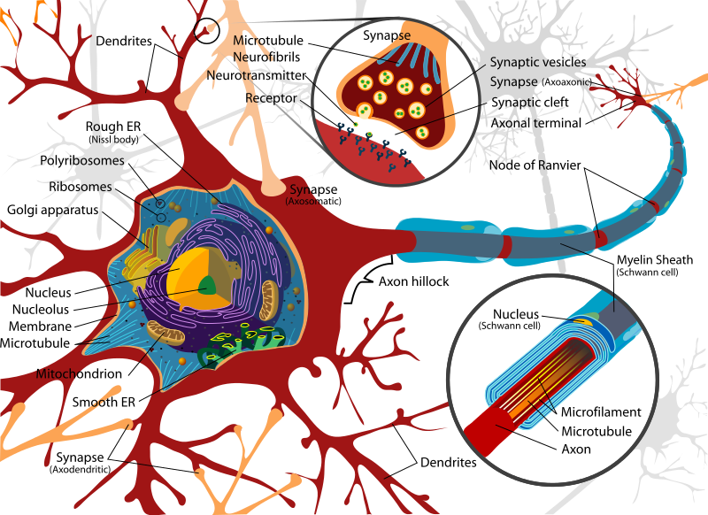 Complete neuron cell diagram physiology pinterest complete neuron cell diagram ccuart Image collections