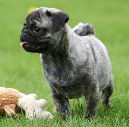 Cute Brindle Pug Puppy Looks Just Like Shaved Noodles Cute Pugs