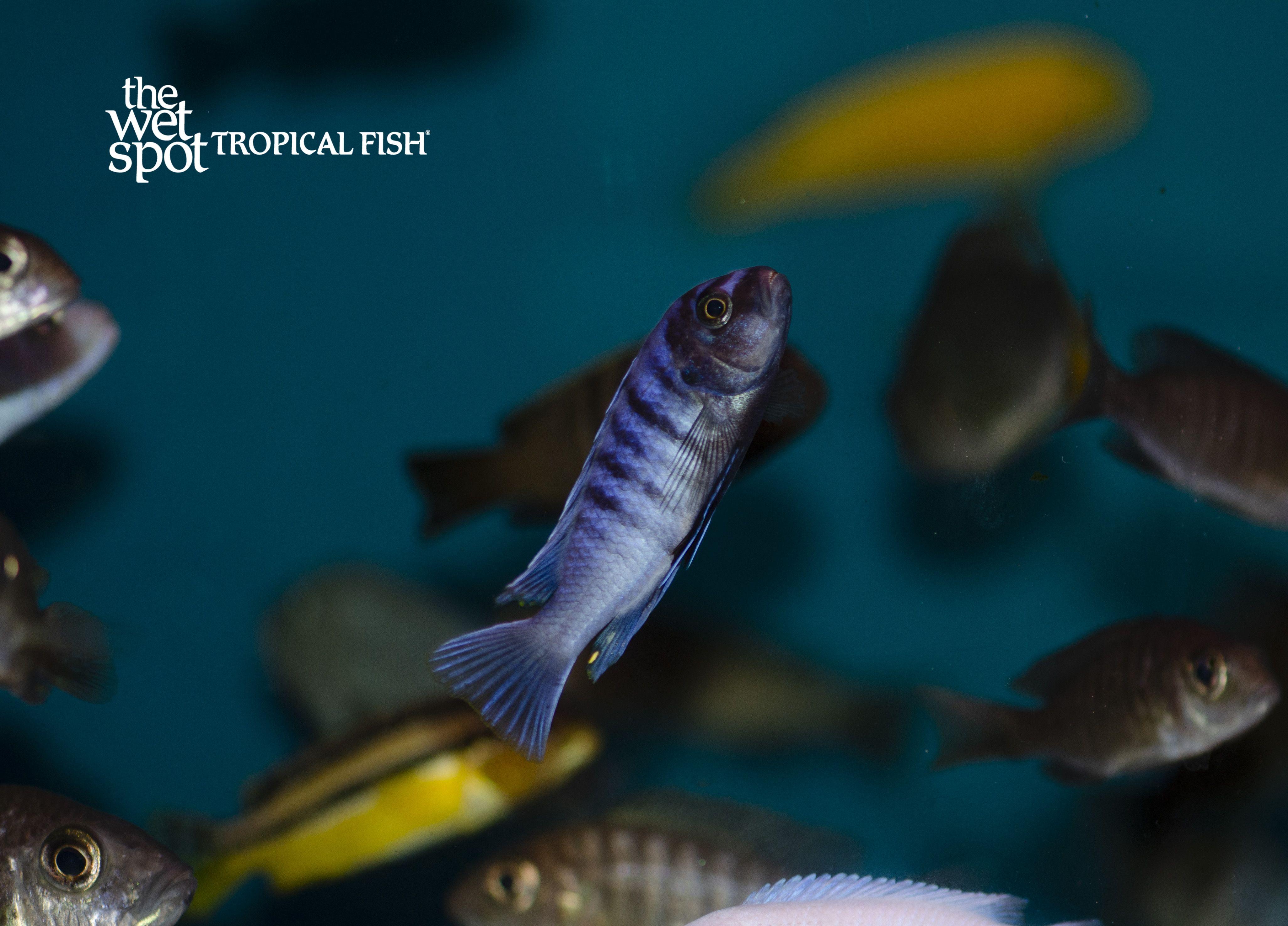 Cichlids Africancichlids Freshwaterfish Cichlidsforsale