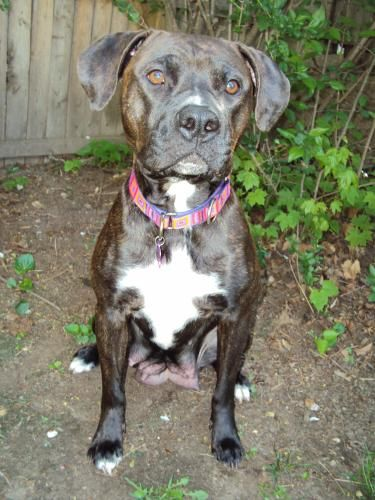 Adopt Ginny Calm And Loving On Boxer Dogs Local Shelters Shy