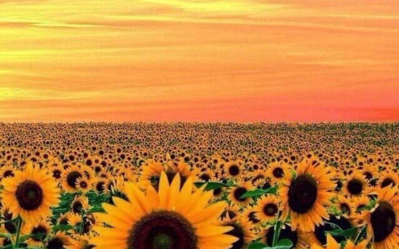Tumblr Iphone Sunset Yellow Sunflower Wallpaper Wallpapers In Sunflowers Aesthetic Desktop Wallpaper Sunflower Wallpaper Computer Wallpaper Desktop Wallpapers