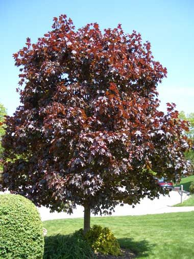 Cost of mature crimson king maple tree