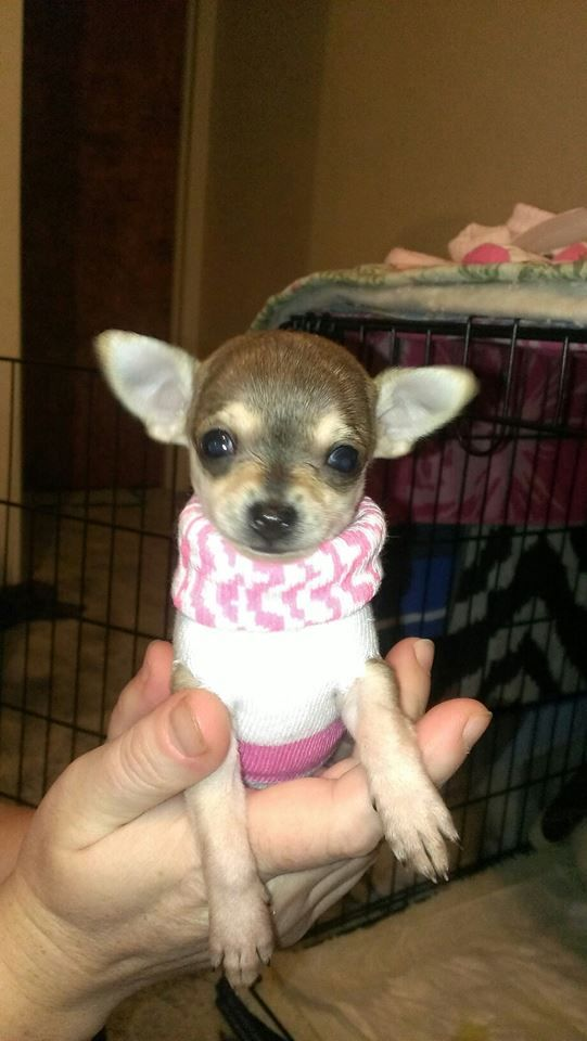 Tea Cup Chihuahua Puppy At 4 Weeks Old Too Small For Store Bought