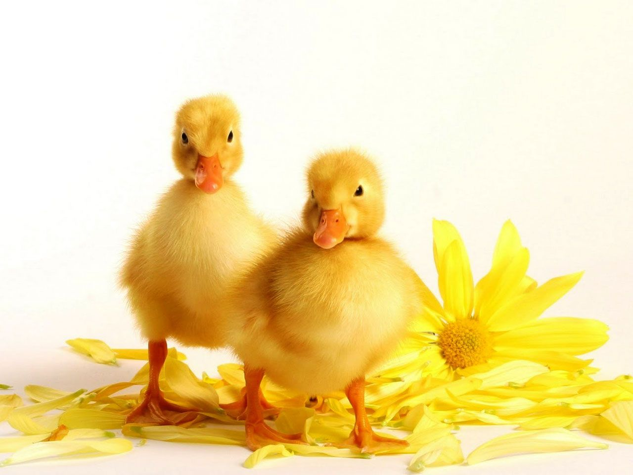 cute yellow ducks