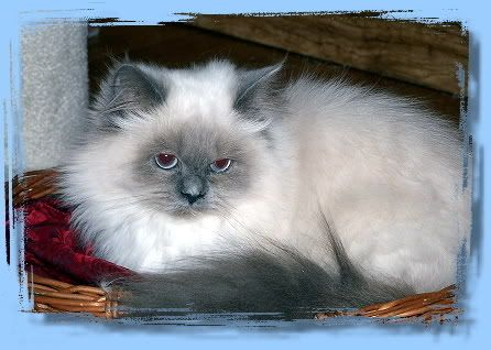 Blue Point Himalayan Wow This Cat Looks Just Like My Stinky Cats Kittens Cats And Kittens