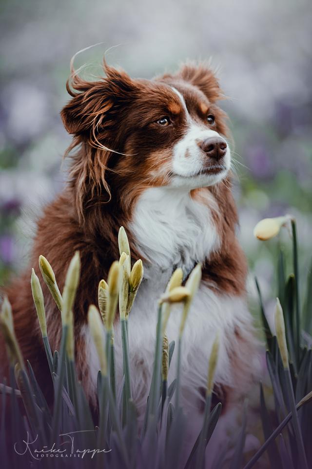 Mini Australian Shepherd Zwischen Blumen In 2020 Hundefotos Hunde Fotos Australian Shepherd