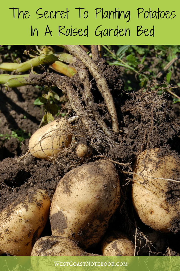 The Secret To Planting Potatoes In A Raised Garden Bed | Plants ...