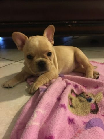 Litter Of 4 French Bulldog Puppies For Sale In Cape Coral Fl Adn