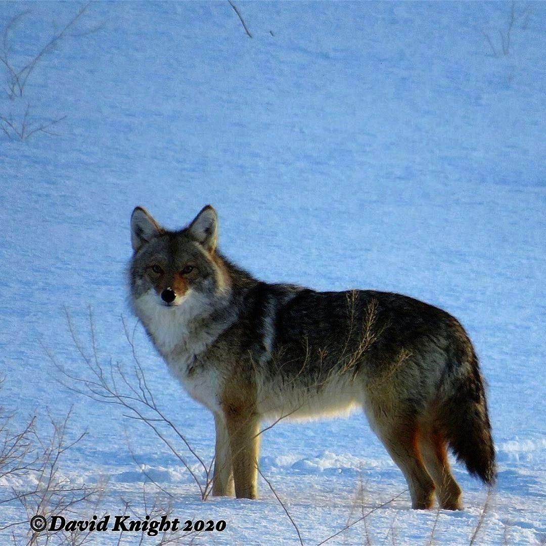 #nextbegging #imagesfor #predator #captured #website #snowdog #staring #picture #fitness #begging #i...