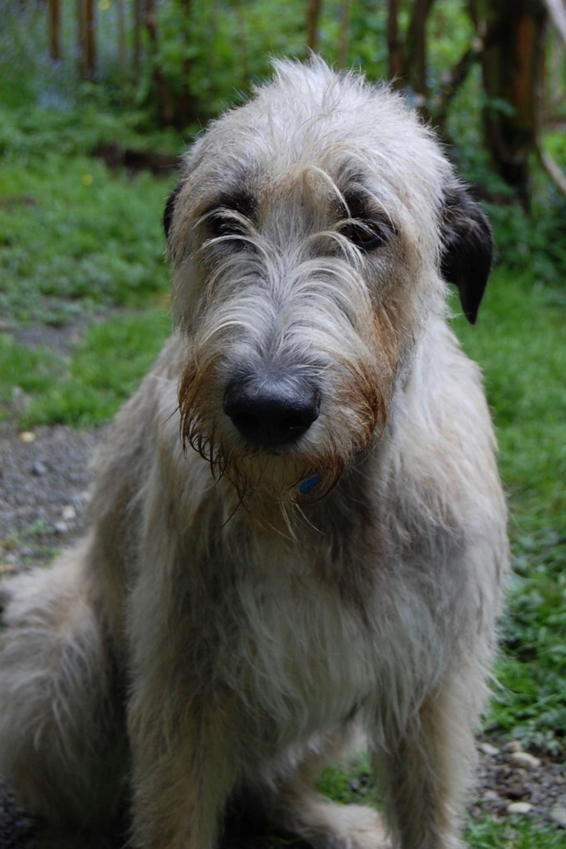 Pin by Emily J.cole on Animals Wolfhounds Dogs