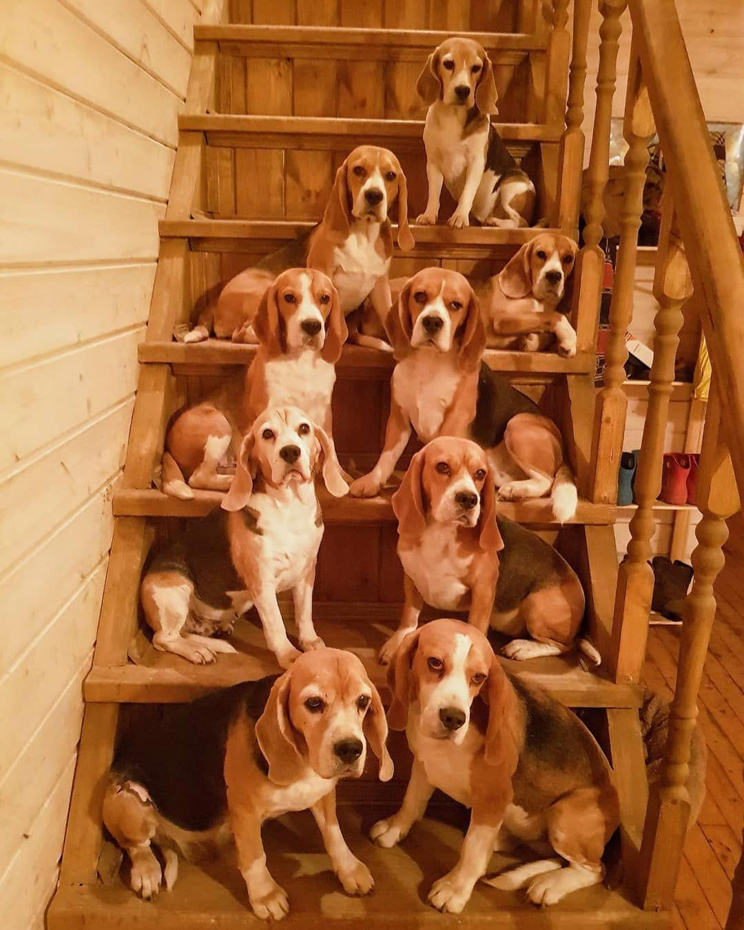 Extraordinary Drafted Dog Lovers Start Now Get Results Beagle