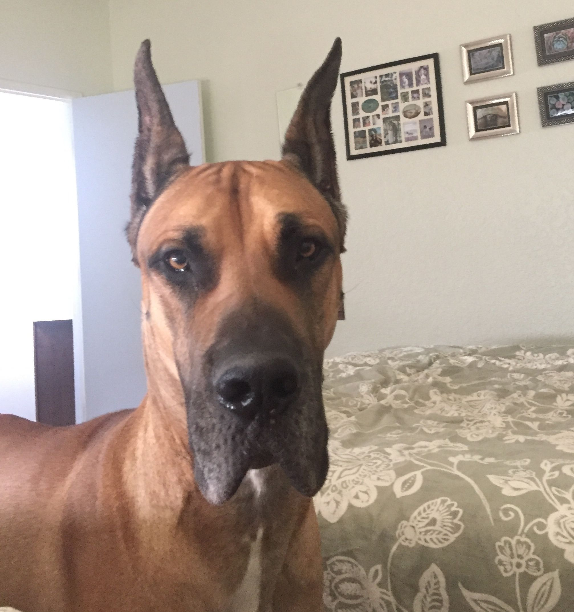 Adopt Bodhi on Petfinder Great dane dogs, Great dane