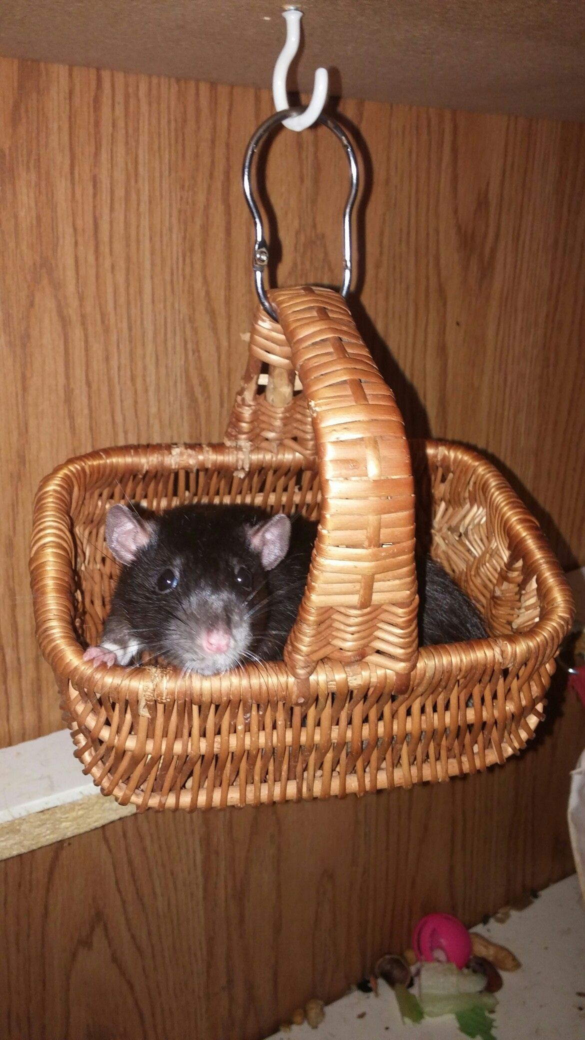 Hanging out in a basket bed. Pet rats, Decorative wicker