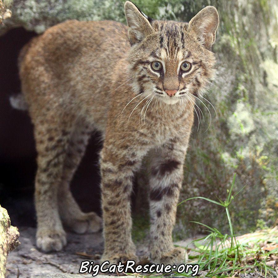 Bobcat Rehabilitation Big Cat Rescue Bobcat Kitten Big Cats