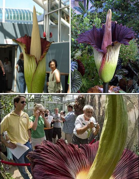 The Corpse Flower Amorphophallus Titanum Look How Big Corpse Flower Amazing Flowers Unusual Flowers