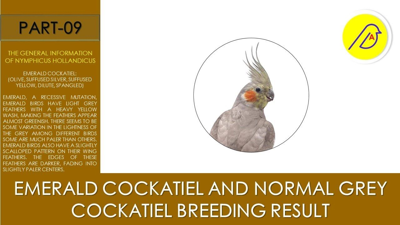 Emerald Cockatiel And Normal Grey Cockatiel Breeding Result In