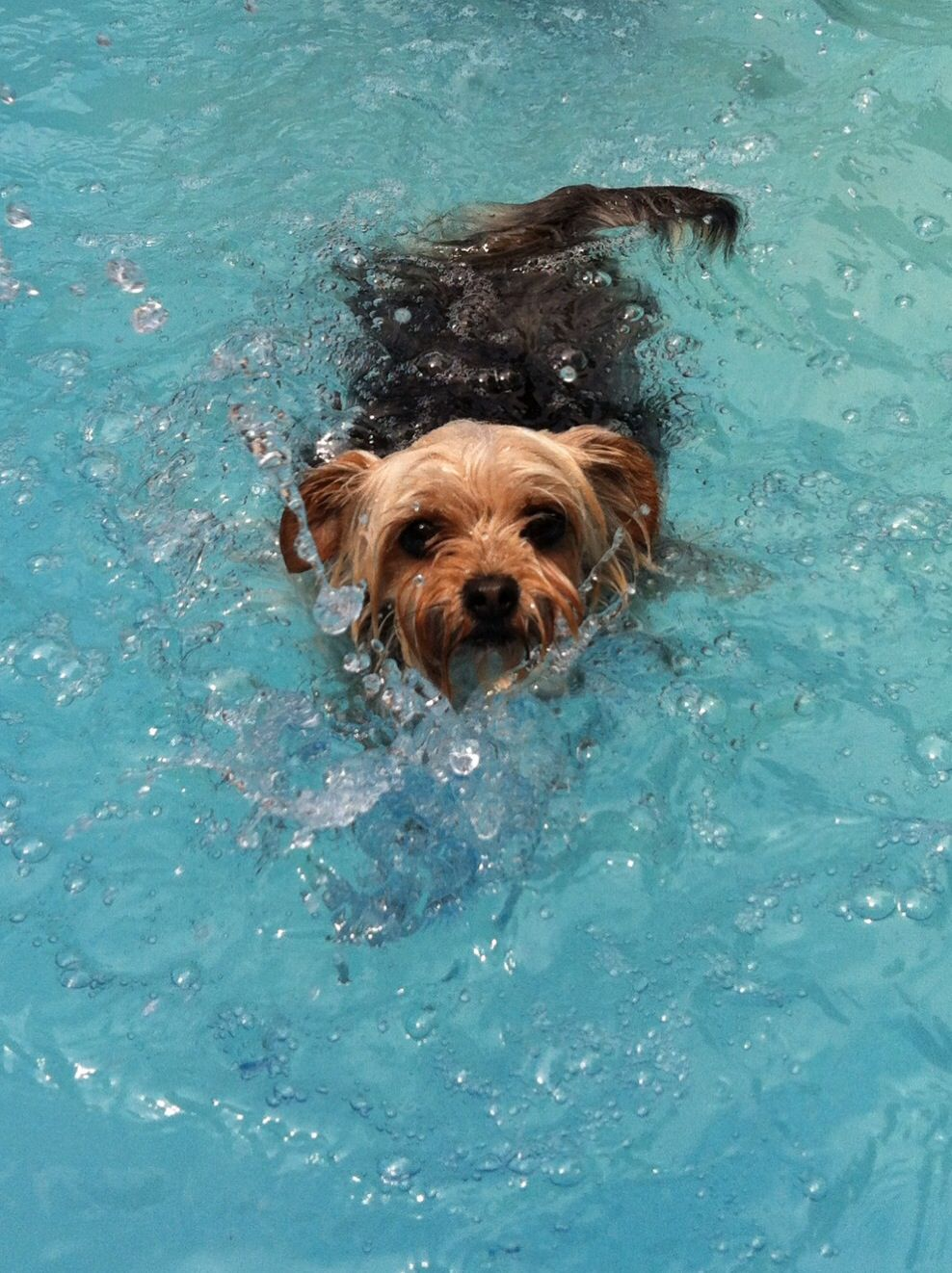 Yorkie Swimming Yorkshire Terrier Pinterest Yorkies Yorkshire And Yorkshire Terrier