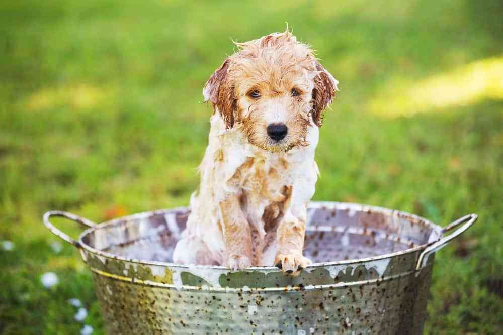 Can you bathe an 8 week old puppy thats what well