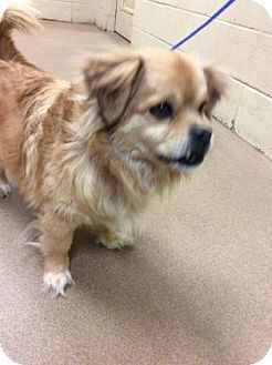 New Jersey Nj Pekingese Spaniel Unknown Type Mix Meet Jackson Nj Bonnie A Dog For Adoption Http Www Adoptapet Pekingese Pekingese Mix Dog Adoption