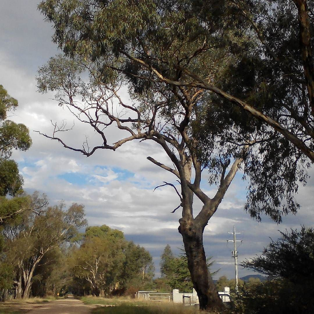 You'd like this image by moments_from_daily_life #landscape #contratahotel (o) http://ift.tt/1o9iazH nice February afternoon along a dirt road. #photooftheday #gumtrees #treeboughs #treetrunk #branchesandsky #clouds #cloudscape #powerpole #farmgates #countryroad #dirtroad  #summertime #intheafternoon