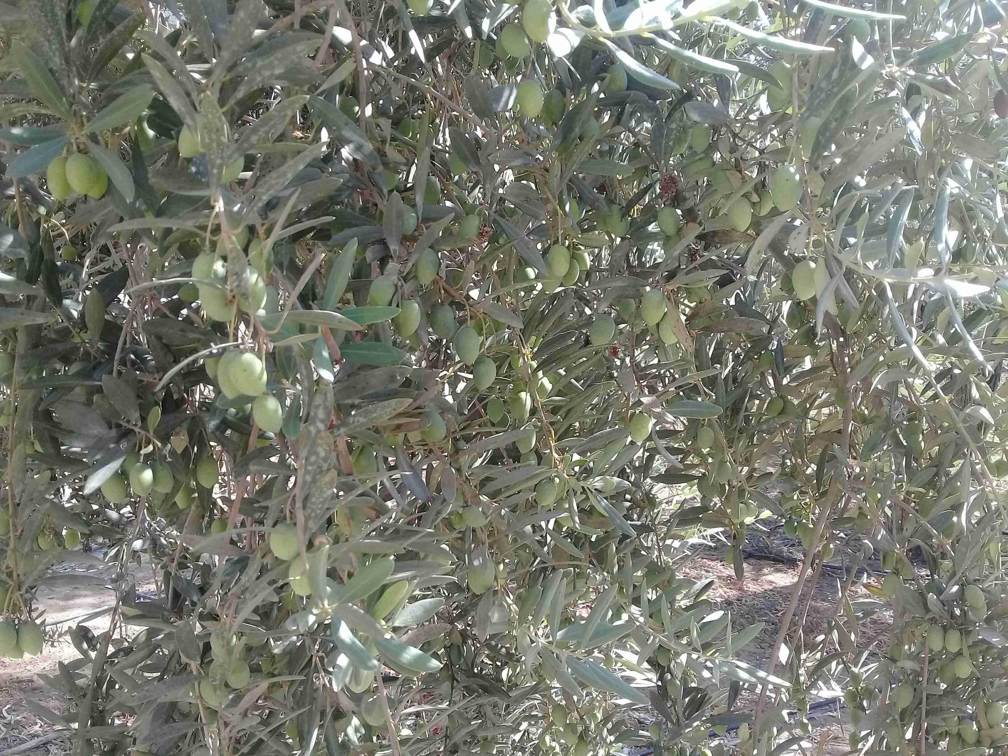 طريقتي لخزن طريقتين من الزيتون الأخضر رائع والطعم ولا أزكى زاكي Recipe Olive Cooking Recipes Side Plates