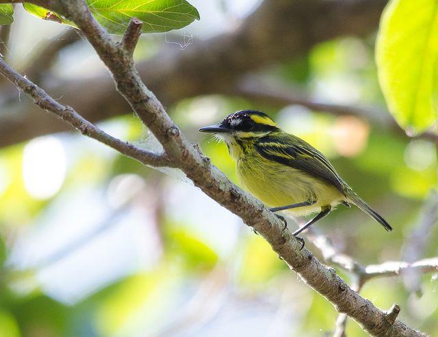 Foto ferreirinho-de-sobrancelha (Todirostrum chrysocrotaphum) por Osmar Slompo | Wiki Aves - A Enciclopédia das Aves do Brasil