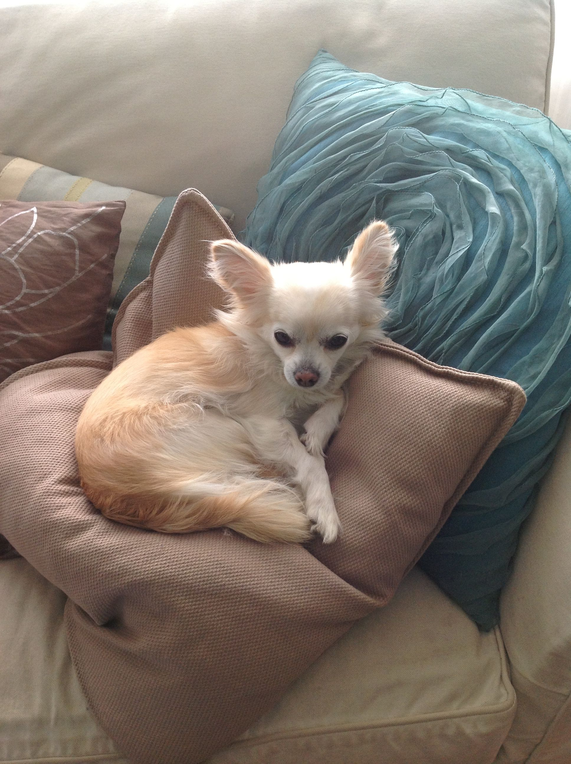 Our G Chilin Chihuahua Love Best Dog Breeds Chihuahua