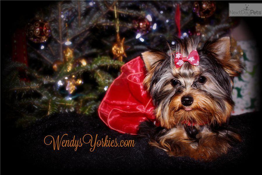 Abby 2 0 Yorkshire Terrier Yorkie Puppy For Sale Near Dallas Fort Worth Texas 17f15da4 9421 Yorkie Puppy For Sale Yorkie Puppy Yorkie