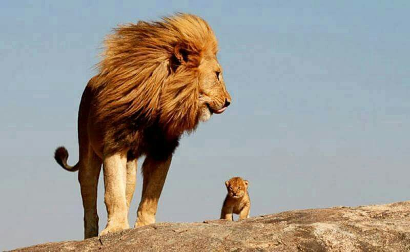 Adult & baby lion