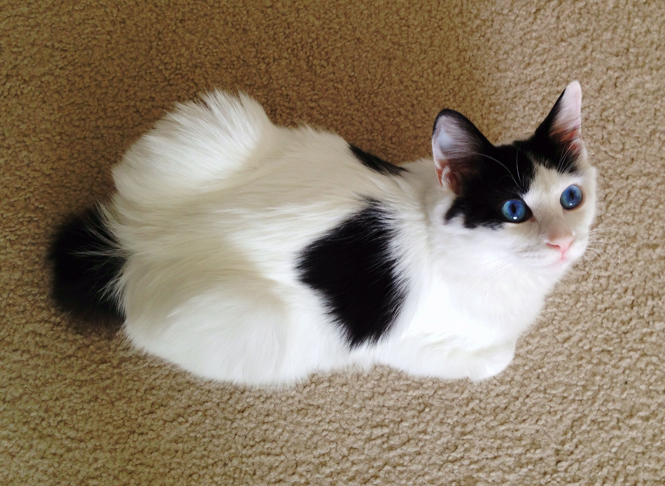 Japanese Bobtail Kitten From Above Photo By Stacy Alynn Japanese Bobtail American Bobtail Cat Bobtail Cat