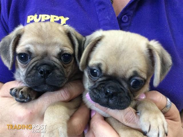 Pug X Puppies At Puppy Shack Brisbaneo733566319 For Sale In