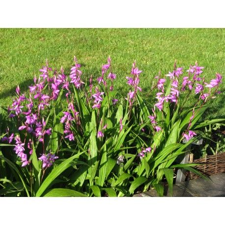 Bletilla striata \'purple\' - Orchidée jacinthe | Bletilla | Pinterest
