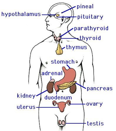 endocrine system biology diagrams pinterest endocrine system. Black Bedroom Furniture Sets. Home Design Ideas