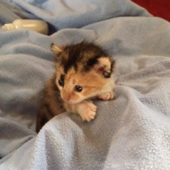 Tiny Calico Kitten Rescued Hours After Birth Kitten Rescue Calico Kitten Cute Baby Animals