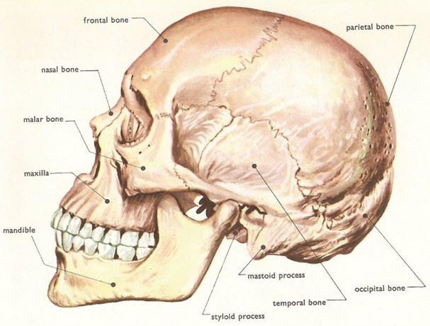 Human Skull Wikipedia Free Encyclopedia The Human Skull Is A
