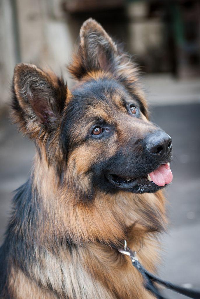 Skif German Shepherd Dogs Types Of German Shepherd German
