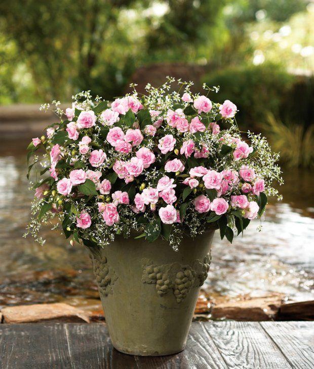 Jasnorozowy Niecierpek Z Serii Fiesta I Wilczomlecz Diamond Frost Double Impatiens Light Pink Flowers Plant Structure