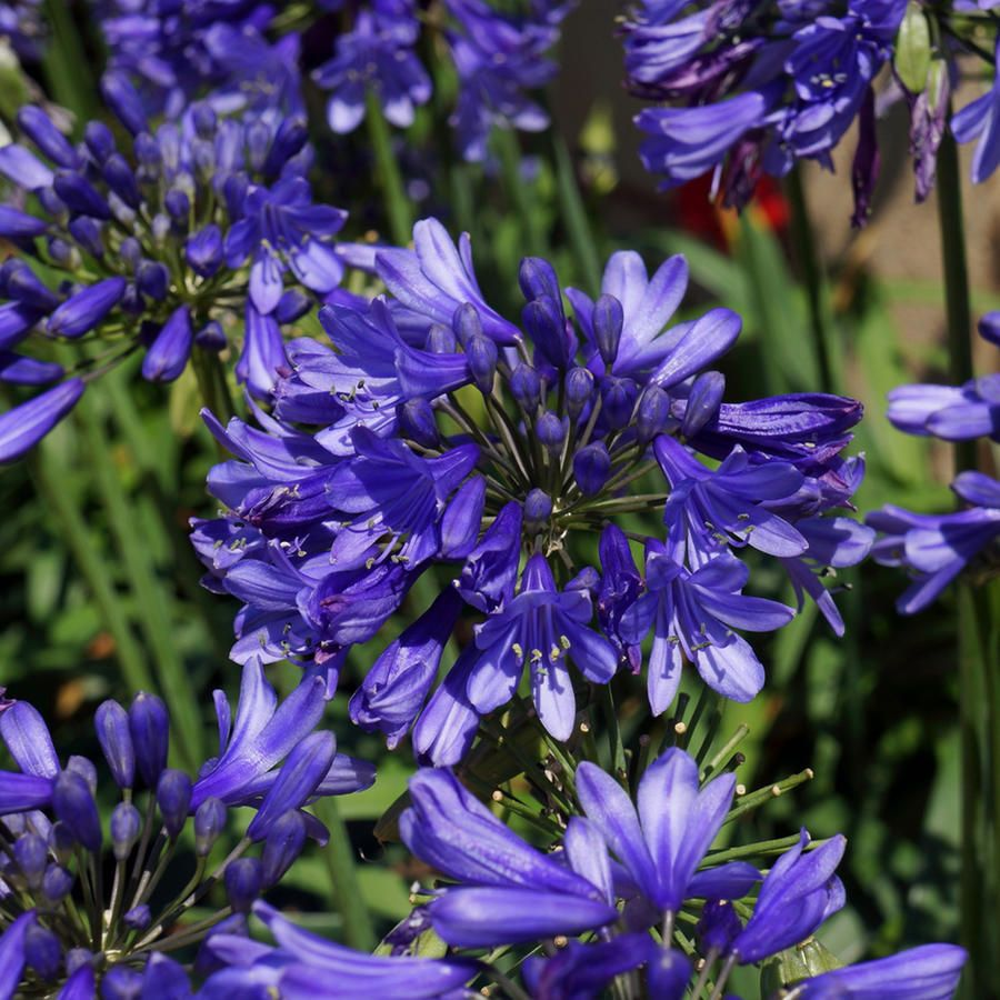 9 Plants That Attract Bees Plants Southern Living Plants Agapanthus