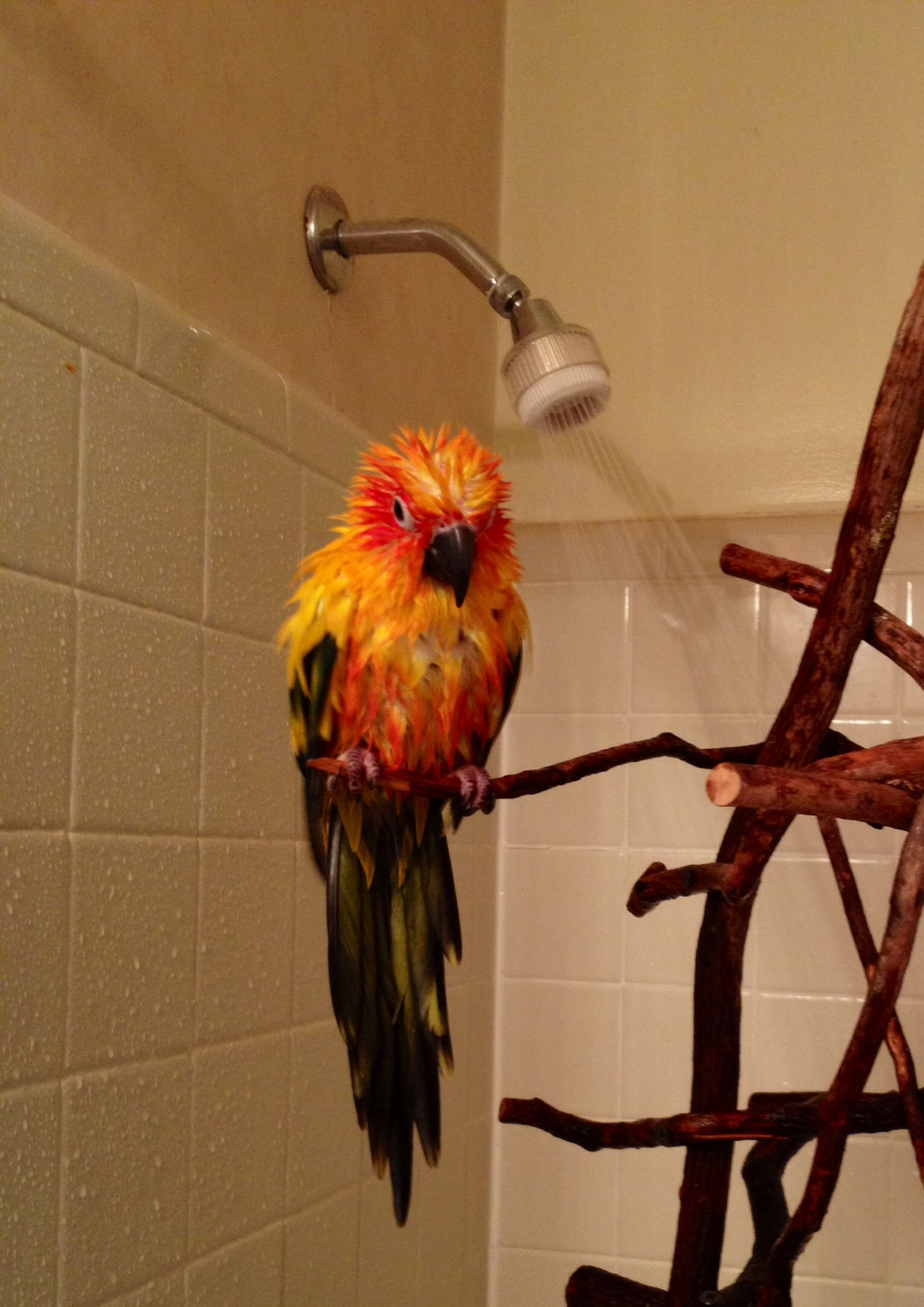 My Sun Conure In The Shower Parrot Care Pet Birds Conure