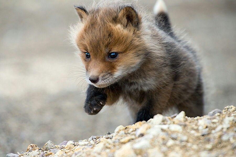 Baby fox | Cute, Fluffy, and Wild Animals | Pinterest
