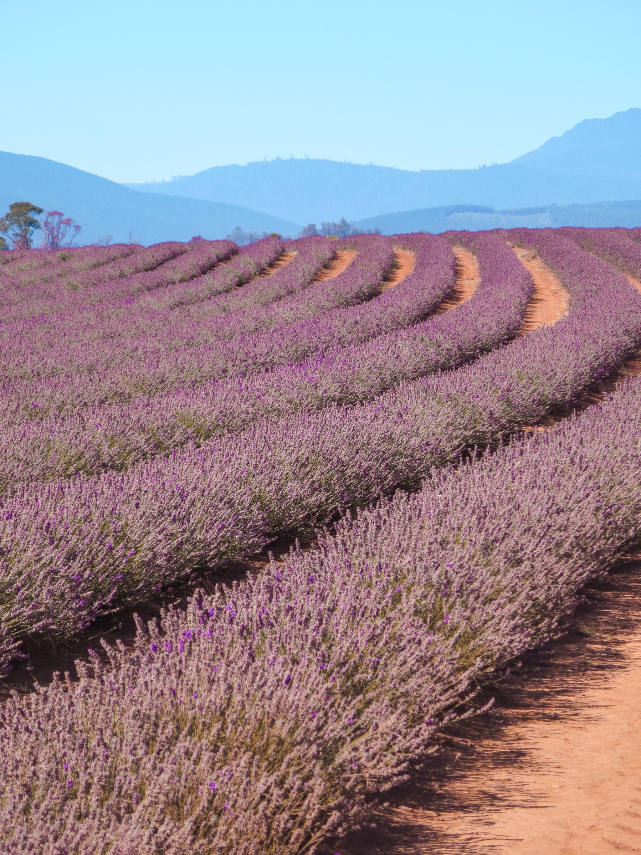 jana meerman bridestowe lavender farm