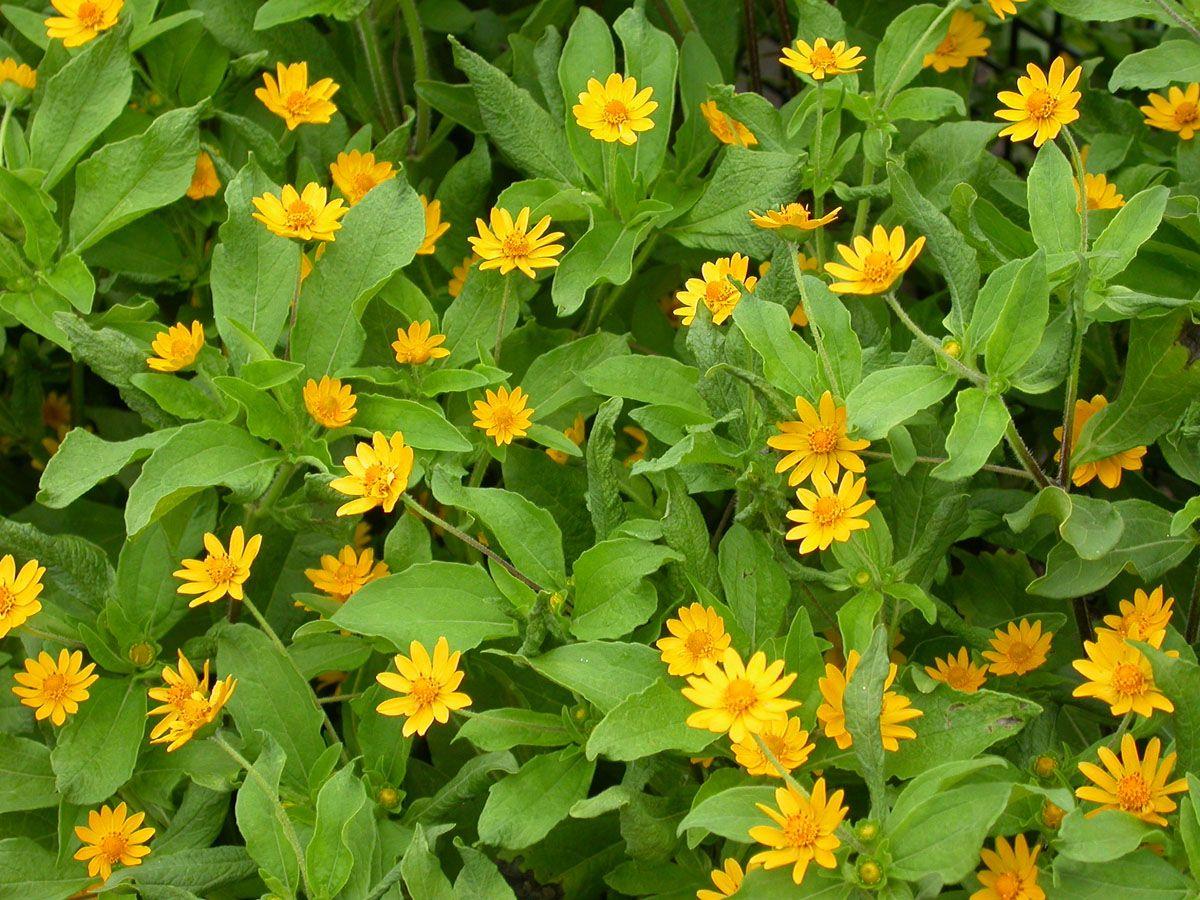 Sun annual lemon delight melampodium planted some of these sun annual lemon delight melampodium planted some of these sunshine flowers around my mailbox izmirmasajfo Images
