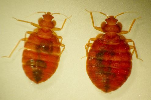Female Male Bed Bug Get Rid Of Bed Bugs Pinterest Bed Bugs