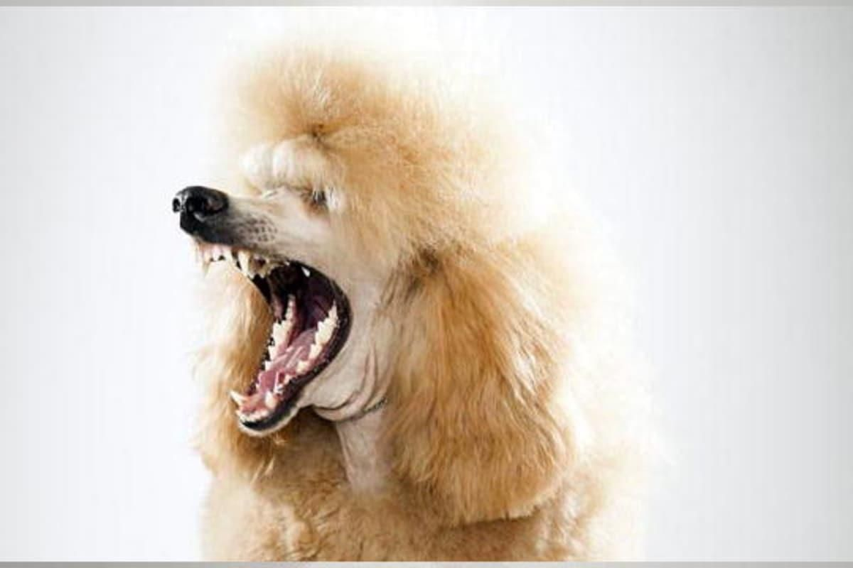 The Poodle Is One Of The Most Popular Dog Breeds In America Learn