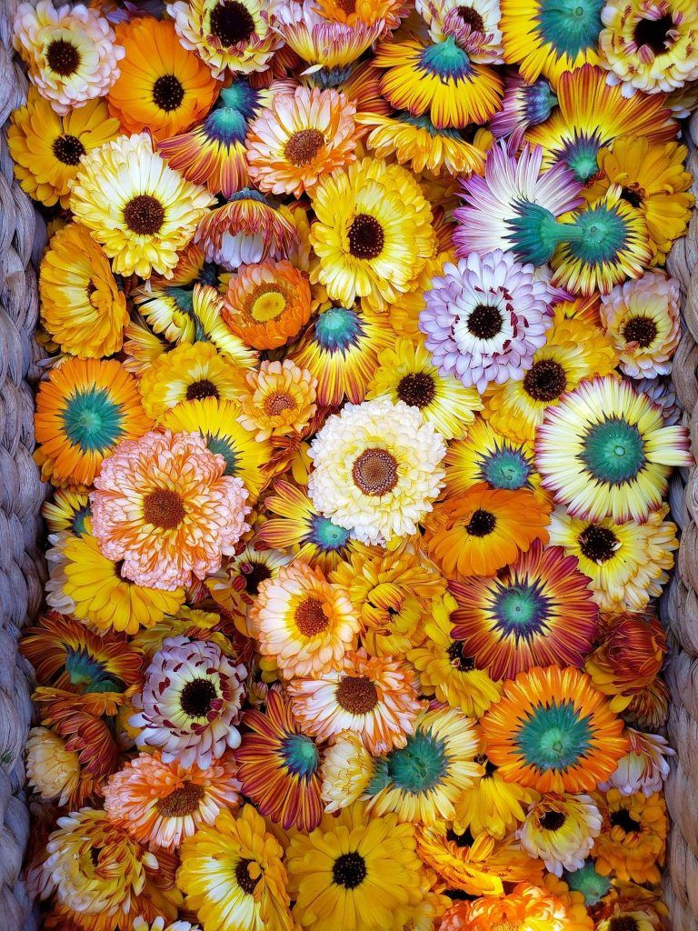All About Calendula How To Grow Harvest Dry Use 400 x 300