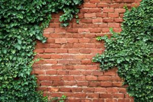 Immergrüne Kletterpflanzen: Die Top 7 - Plantura