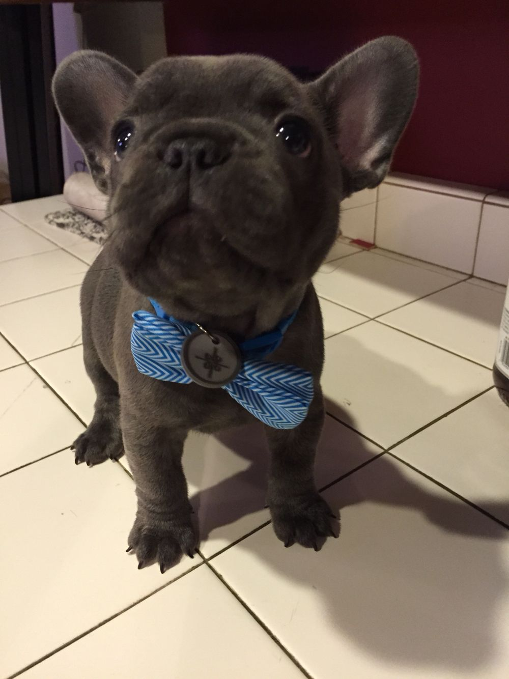 Pin by Cindy Rice on My love of Frenchies French bulldog