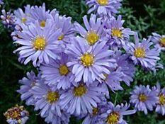 michaelmus daisy