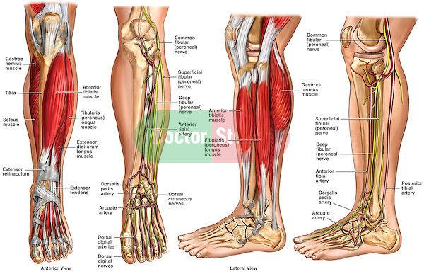 Normal Anatomy Of The Left Lower Leg Includes Labels For Muscles