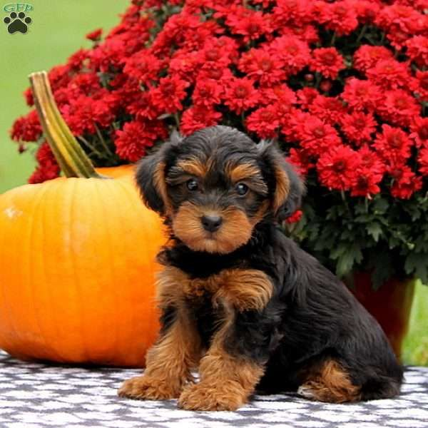 Candace YorkiePoo Puppy For Sale in Pennsylvania